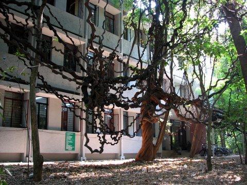 vines in front of ECS, IISc 150408