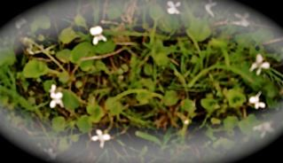 millions-white-violtes
