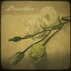 Romantic (Rose Mist) Tags: flowers stilllife texture photoshop canon bravo layers brilliant lisianthus firstquality g9 stilllifeart impressedbeauty thegoldenmermaid rosemist
