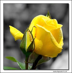 Yellow roses (Andrea Rapisarda) Tags: italy rose yellow italia rosa giallo sicily sicilia naturesfinest flickrsicilia rapis60 awesomeblossoms andrearapisarda