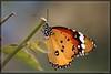 Farfalla 2 (Ziobudu) Tags: life fiori colori antenne gocce farfalle polline canon40d goldstaraward ziobudu artedellafoto