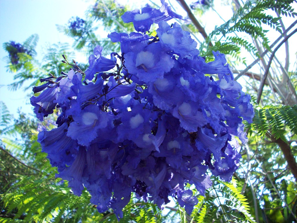 I like plants photos of fairchild tropical botanic garden jacaranda cuspidifolia one of the beautiful tropical flowering trees izmirmasajfo