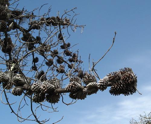 Lots o' pine cones