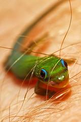 Son, You Got A Hair On Your Lip (Bill Adams) Tags: baby me hair hawaii reptile lizard explore gecko bigisland waikoloavillage canonef100mmf28macrousm madagascardaygecko notanightgecko sharpphotoforacanon