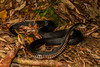 Red Bellied Black Snake - Pseudechis porphyriacus (Nic Crampton) Tags: redbelliedblacksnake redbelly blacksnake pseudechis pseudechisporphyriacus dangerous venomous deadly elapid elapidae snake reptilephotography reptile wildlife wildlifephotography cairns farnorthqueensland tropicalnorthqueensland wettropics australia