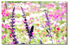 In Taiwan Nantou .    in  (Ming - chun ( very busy )) Tags: landscape nikon d70 lavender taiwan         mywinners  platinumphoto  colorphotoaward travelsofhomerodyssey