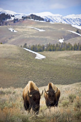Wandering (Ar'alani) Tags: nature landscape nationalpark wildlife yellowstone wyoming bison canon70200l hoyamoose