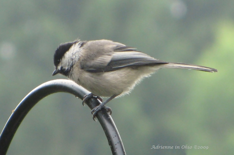 chickadee photo by Adrienne Zwart