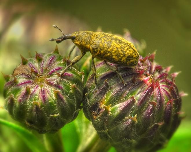 Itza bug