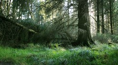 Deep Forest Studies #10 (-: Al Bell :-) Tags: trees forest woodland landscape scotland deep environment enchanted albell