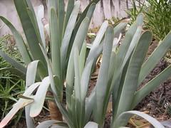 cactus 214 (blum1) Tags: cactus fiori piante ortobotanico