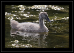 Black Swan Cygnet-4695 (Barbara J H) Tags: nature sunshine fauna coast swan wildlife cygnet australia qld blackswan cygnusatratus australianbirds australianwildlife birdsofaustralia australianfauna australiannativebirds wildlifeofaustralia barbarajh northbuderimlake faunaofaustralia blackswancygne