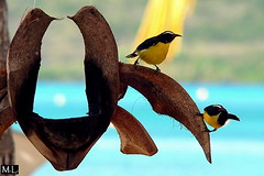 Coereba flavoela (Zygonyx) Tags: bird nature birds animal animals fz20 martinique wildlife sainteanne panasonic plage oiseau vogel oiseaux bananaquit steanne mangeoire sucrier vgeln filetsbleus