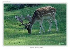 Daim 1 (Suisse 2006) (Frdric.L) Tags: suisse animaux daim frdriclavaux