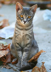AutumnCat (Feral / Stray kitten) (Roeselien Raimond) Tags: autumn wild cats baby cute fall nature animal animals cat canon mammal greek photography eyes kitten katten kat feline outdoor kitty kittens greece domestic catus meow poes poezen housecat cutecat overload feral babycat felis domesticated naturephotography cutekitten babyanimal poesje awesomeshot felidae feliscatus zwerfkat natuurfotografie cuteoverload silvestris cc100 bestofcats anawesomeshot kittyschoice domesticatedcat roeselien thrumyeye roeselienraimond