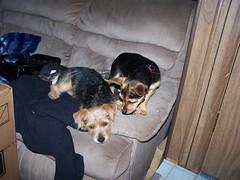 Brudder and Sister (bonkrood) Tags: puppy bubba jinx chorkie