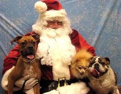Babies with Santa Dec 07 (sylkyred1) Tags: santa dog bulldog willow boxer pomeranian tongues rhiannon goldenglobe wynter
