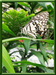 Papilio demoleus malayanus (Lime/Lemon Butterfly) - still pretty though dress is slightly torn!
