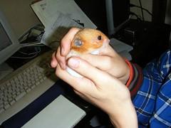 20071217 - 01 (kayako_) Tags: hamster pon
