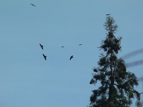 Raven Dance 2