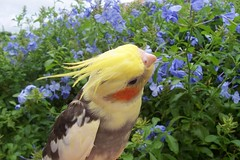 cockatiel bird