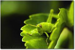 E quem no tem... (.Tatiana.) Tags: friends macro verde green closeup grilo filtro braganapaulista johanes fotoclube duetos nacasadamami ysplix johanesduarte closeup42 siteparavendadefotos httpwwwplanobfotodesigncom fototatianasapateiro