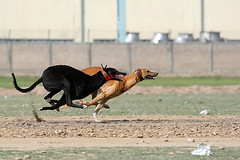 Racing hounds (KamiSyed.) Tags: wedding pakistan man men kids women culture arab desi pakistani punjab cultural punjabi islamabad weddingphotographer rawalpindi urdu taxila weddingphotography woaman studio9 mywinners weddingphotographs weddingpix kamisyed kamransafdar