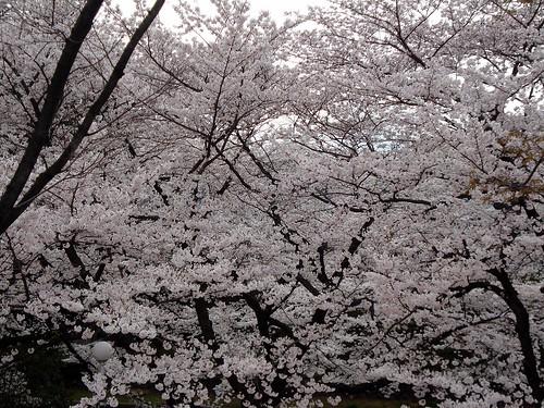 Sakura (Toshimaen)
