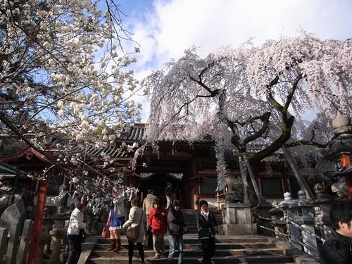 氷室神社(しだれ桜)-02
