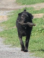 It's only a stick_002 (TELPortfolio) Tags: newzealand dog wellington teraekaihau 10millionphotos jalalspagesanimalkingdom
