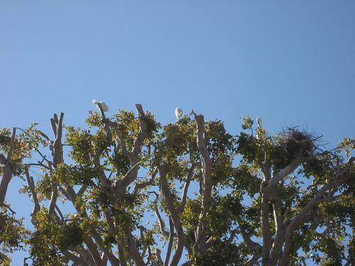 egrets nesting in Cross Creek