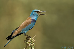 (N-S-S) Tags: bird birds nikon sigma kuwait nikkor  800 nasser 800mm coraciasgarrulus  nss    vwc       kvwc   alsolihem
