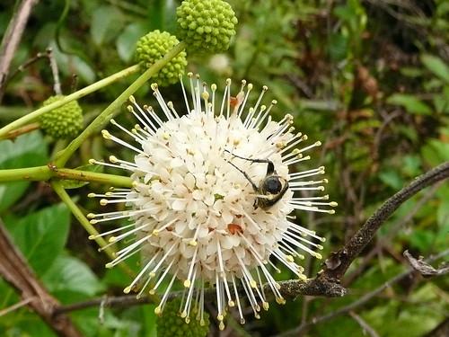 bee in pollen 29Apr08 par Pervez 183A