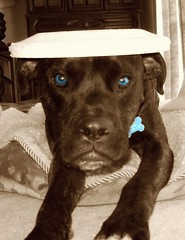 You Like My Hat? (Honey Lissa) Tags: mutt mix head pitbull boxer frisbee vader 2008 picnik