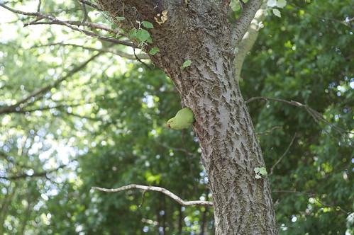 Nesting ring-necked parakeet
