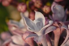DSC_0127 - flower (webber0075) Tags: pink iris usa white plant flower macro nature flora colorado brighton purple small d200 adamscounty commercecity unincorporated thewest 105mmlens 80022 80603 brillianteyejewel