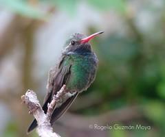 Uno ms (Rogelio Guzmn-Moya) Tags: naturaleza nature mxico hummingbird bokeh aves ave puebla pjaro colibr naturesfinest top20bokeh rogelioguzmnmoya philidor2001 flickerspoblanos