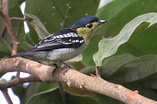 Pachyramphus versicolor