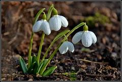 Morgentau (helkifoto) Tags: galanthus galanthusplicatus galanthusplicatusaugustus schneeglöckchen snowdrop snowdrops sneeuwklokje spring morgentau morningdew flower flora flor flowers blümchen garden green white