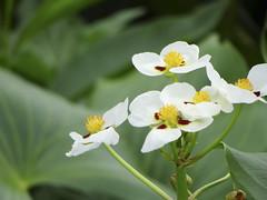 Aquatic Plants (ddsnet) Tags: sony cybershot aquaticplants  cybershor plants aquatic hx100v