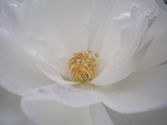 Flower (@ly$ in wonderland) Tags: flowers white plant flower macro nature pool up angel happy gold star petals wings stem focus colours close award center petal lilly middle pure biology invite peacefull purity polyn abigfave bpmacroflowers