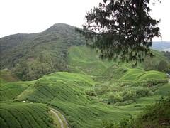 DSCN0505 (huai*) Tags: highlands tea cameron teaplantation