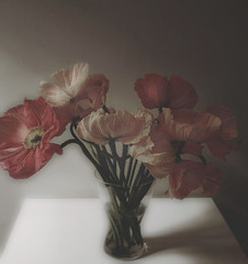 unruly (hanna.bi) Tags: flowers red dark cream magenta poppy vase unruly palabra hannabi 25faves beautifulstilllife