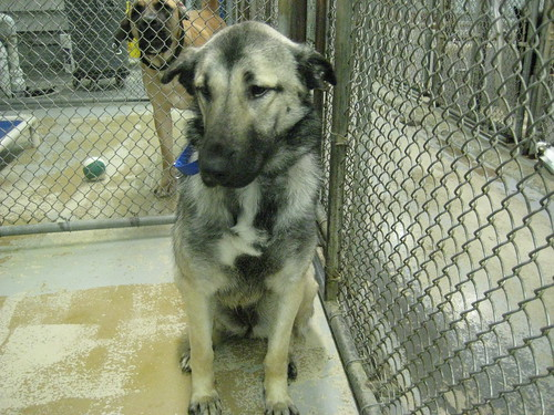 Norwegian+Shepherd Norwegian Elkhound Shepherd Mix Gracious the ...