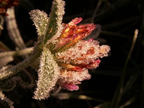 Frost wild flower 4