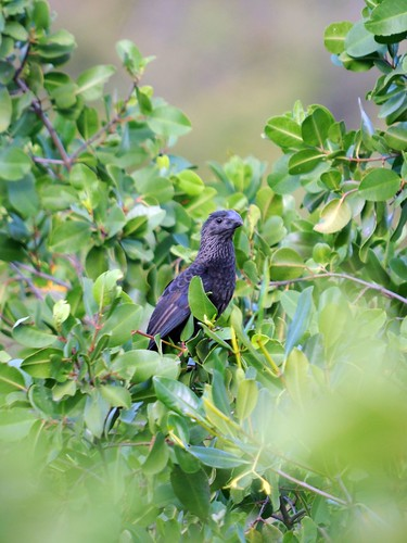 smooth billed ani
