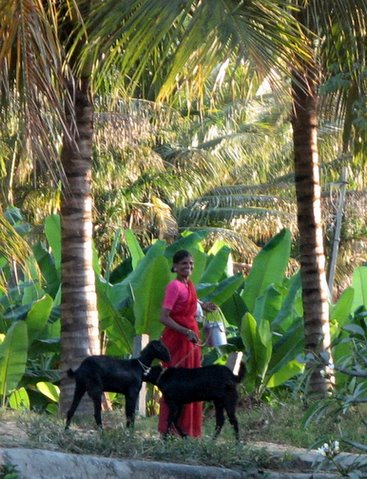two goats, two palm trees, and a magical smile ranganathitttu 040108