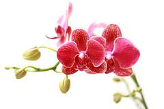 Orchid (bw.futures) Tags: flowers orchid flower art digital canon eos rebel orchids vietnam saigon 50mmf18 flowerscolors xti