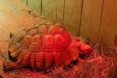 Cold tortoise