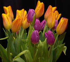 Rites of Spring (Johan_Leiden) Tags: stilllife orange color green colors dutch catchycolors spring groen colours purple tulips nederland thenetherlands explore tulip nederlands oranje tulpen paars excellence kleur tulp voorjaar ritesofspring naturesfinest nationalsymbol abigfave diamondclassphotographer flickrdiamond ilovemypic artlegacy betterthangood excellentsflowers life~asiseeit natureselegantshots explorewinnersoftheworld mimamorflowers nationaalsymbool auniverseofflowers gettyr